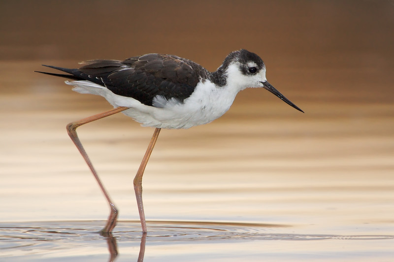 First Winter Black Neck Stilt