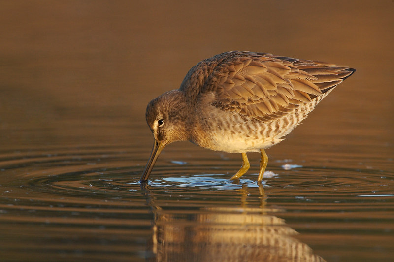 Long Billed Dowitcher at sunrise
