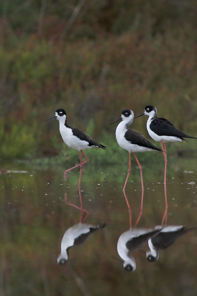 Black Neck Stilts