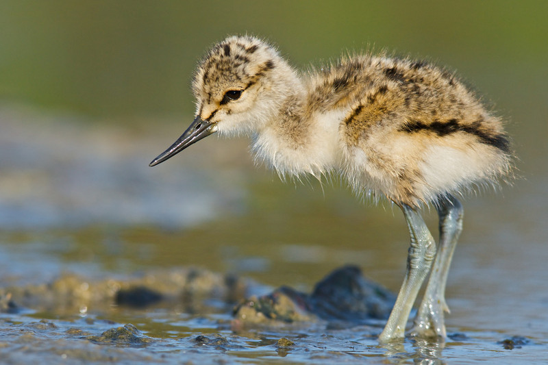 Avocet Chick