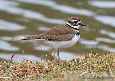 killdeer002