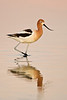 American Avocet in pink light