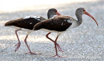 ibis_crossing