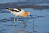 Avocet eating worm