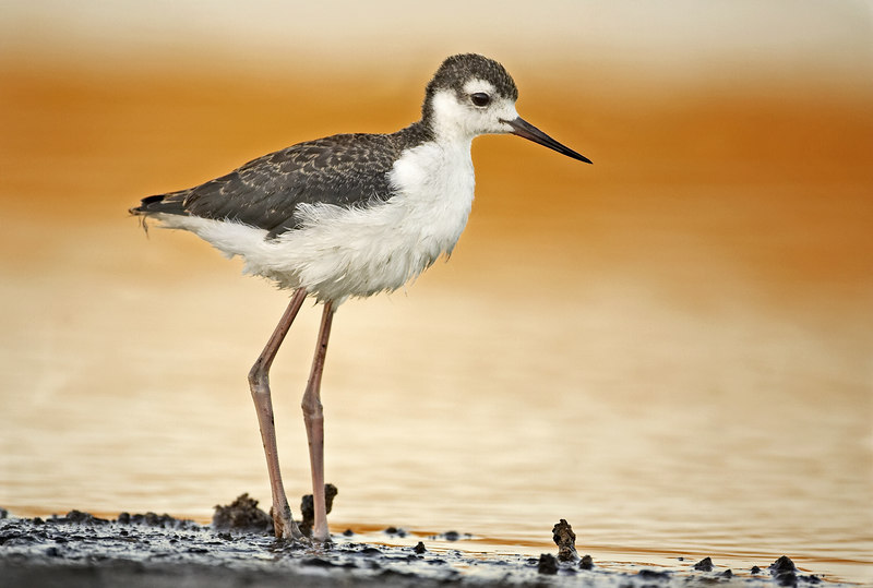 Young Black Necked Stilt