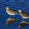 """Yellowlegs wild wildlife bird  <div class=""""ss-paypal-button""""><br><form target=""""paypal"""" action=""""https://www.paypal.com/cgi-bin/webscr"""" method=""""post"""" ><input type=""""hidden"""" name=""""cmd"""" value=""""_cart""""><input type=""""hidden"""" name=""""business"""" value=""""947PXEXBHP9H8""""><input type=""""hidden"""" name=""""lc"""" value=""""US""""><input type=""""hidden"""" name=""""item_name"""" value=""""Yellowlegs wild wildlife bird""""><input type=""""hidden"""" name=""""item_number"""" value=""""http:&#x2F;&#x2F;www.werthwildphotography.com&#x2F;Animals&#x2F;Birds&#x2F;Shorebirds&#x2F;i-xM8M4Fj""""><input type=""""hidden"""" name=""""button_subtype"""" value=""""products""""><input type=""""hidden"""" name=""""no_note"""" value=""""0""""><input type=""""hidden"""" name=""""cn"""" value=""""Add special instructions to the seller:""""><input type=""""hidden"""" name=""""no_shipping"""" value=""""2""""><input type=""""hidden"""" name=""""currency_code"""" value=""""USD""""><input type=""""hidden"""" name=""""shipping"""" value=""""4.00""""><input type=""""hidden"""" name=""""add"""" value=""""1""""><input type=""""hidden"""" name=""""bn"""" value=""""PP-ShopCartBF:btn_cart_LG.gif:NonHosted""""><table class=""""printSize""""><tr><td><input type=""""hidden"""" name=""""on0"""" value=""""Print size"""">Print size</td></tr><tr><td><select name=""""os0""""> <option value=""""5 x 7"""">5 x 7 $14.00 USD</option> <option value=""""8 x 10"""">8 x 10 $20.00 USD</option> <option value=""""8 x 12"""">8 x 12 $20.00 USD</option> <option value=""""11 x 14"""">11 x 14 $28.00 USD</option> <option value=""""12 x 18"""">12 x 18 $35.00 USD</option> <option value=""""16 x 20"""">16 x 20 $50.00 USD</option></select> </td></tr></table><input type=""""hidden"""" name=""""currency_code"""" value=""""USD""""><input type=""""hidden"""" name=""""option_select0"""" value=""""5 x 7""""><input type=""""hidden"""" name=""""option_amount0"""" value=""""14.00""""><input type=""""hidden"""" name=""""option_select1"""" value=""""8 x 10""""><input type=""""hidden"""" name=""""option_amount1"""" value=""""20.00""""><input type=""""hidden"""" name=""""option_select2"""" value=""""8 x 12""""><input type=""""hidden"""" name=""""option_amount2"""" value=""""20.00""""><input type=""""hidden"""" name=""""option_select3"""" value=""""11 x 14""""><input type=""""hidden"""" name=""""option_amount3"""" value=""""28.00""""><input type=""""hidden"""" name=""""option_select4"""""""