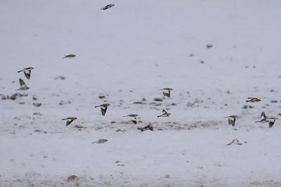 Snow Buntings & Longspurs