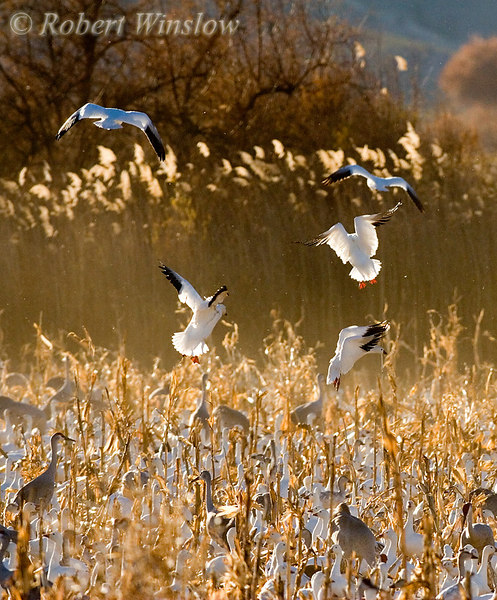 Snow Geese (Chen caerulescens), Bosque del Apache National Wildlife Refuge, New Mexico, USA, North America