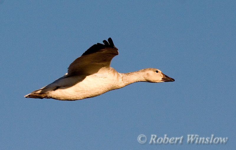 Snow Goose, (Chen caerulescens), Bosque del Apache National Wildlife Refuge, New Mexico, USA, North America