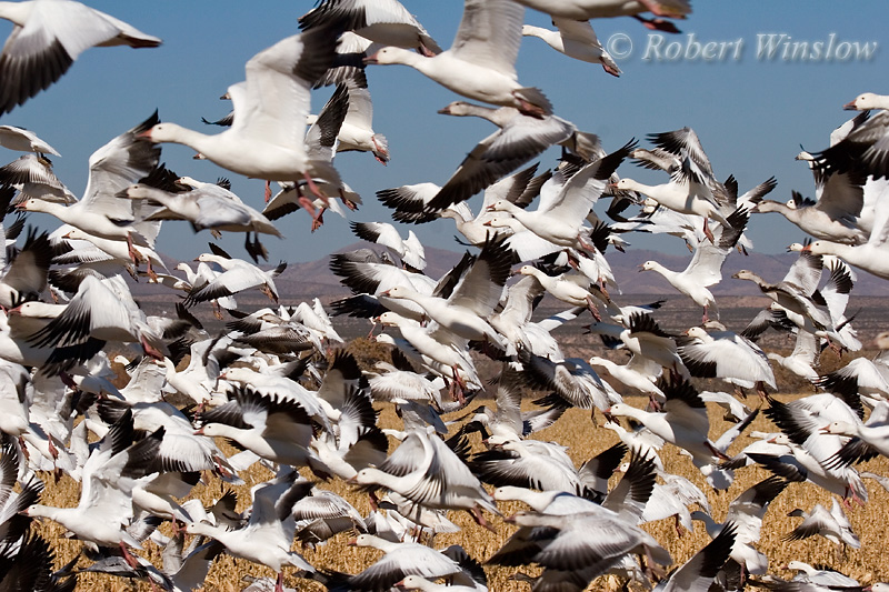 Snow Geese, (Chen caerulescens), Bosque del Apache National Wildlife Refuge, New Mexico, USA, North America