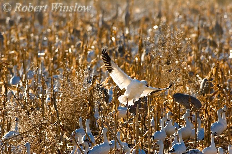 Snow Goose Landing in a Corn Field (Chen caerulescens), Bosque del Apache National Wildlife Refuge, New Mexico, USA, North America