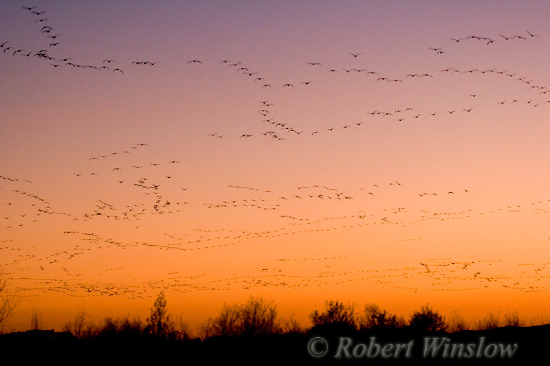 Snow Geese(Chen caerulescens), Bosque del Apache National Wildlife Refuge, New Mexico, USA, North America