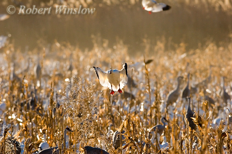 Snow Goose Landing (Chen caerulescens), Bosque del Apache National Wildlife Refuge, New Mexico, USA, North America
