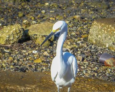 2016-10-31_P1000012_Snowy Egret,Dunedin,Fl