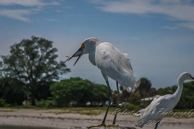 2014-07-21_P1250834_Snowy Egret,Ft Desoto