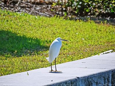 _4_snowy egret,_0223