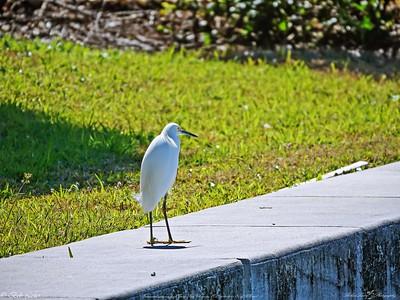 _1_snowy egret,_0223