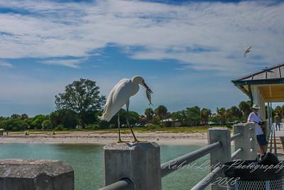 2014-07-21_P1250836_Snowy Egret,Ft Desoto