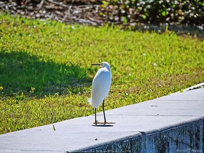 _2_snowy egret,_0223