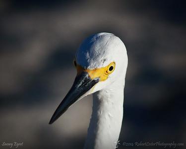 2014-10-23_IMG_6922_Snowy Egret   Sand Key