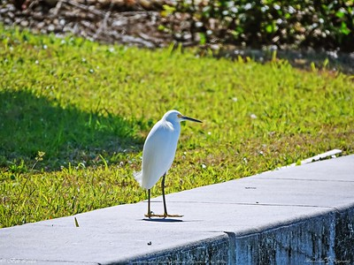 _3_snowy egret,_0223