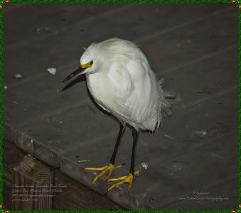 _C200004_treasure island parade,johns pass_Snowy Egret