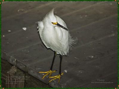 _C200005_treasure island parade,johns pass_Snowy Egret