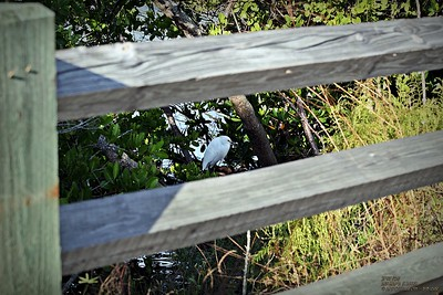 2013-11-01_ Snowy Egret,Palm Harbor,Fl _IMG_7044_
