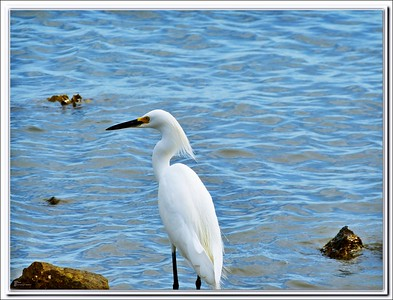 P1090437_Snowy Egret fs
