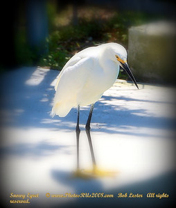 Snowy Egret     © www.PhotosRUs2008.com   Bob Lester   All rights reserved.