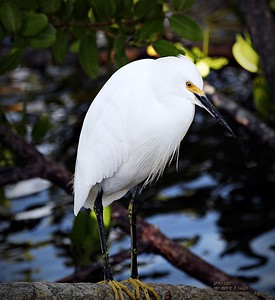 2013-11-01_ Snowy Egret,Palm Harbor,Fl _IMG_7050_