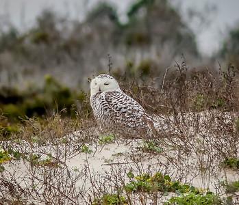 2014-01-06_Snowy Owl_Little Talbot Island,SP,Fl _IMG_3102
