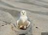 20131220_Snowy Owl_1402