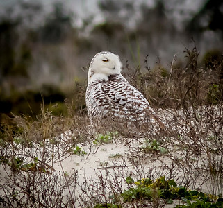 2014-01-06_Snowy Owl_Little Talbot Island,SP,Fl _IMG_3197