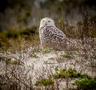 2014-01-06_Snowy Owl_Little Talbot Island,SP,Fl _IMG_3240