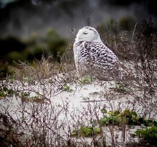 2014-01-06_Snowy Owl_Little Talbot Island,SP,Fl _IMG_3459