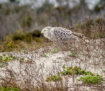 2014-01-06_Snowy Owl_Little Talbot Island,SP,Fl _IMG_3079