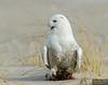 20131220_Snowy Owl_188