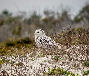 2014-01-06_Snowy Owl_Little Talbot Island,SP,Fl _IMG_3081