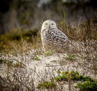 2014-01-06_Snowy Owl_Little Talbot Island,SP,Fl _IMG_3245