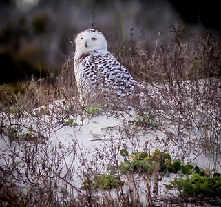 2014-01-06_Snowy Owl_Little Talbot Island,SP,Fl _IMG_3615