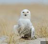 20131220_Snowy Owl_444