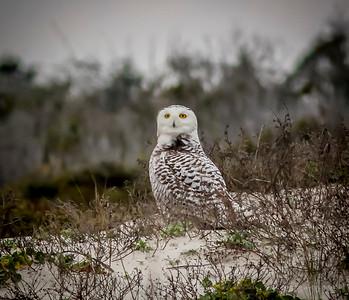 2014-01-06_Snowy Owl_Little Talbot Island,SP,Fl _IMG_3160