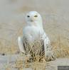 20131220_Snowy Owl_288