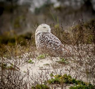2014-01-06_Snowy Owl_Little Talbot Island,SP,Fl _IMG_3231