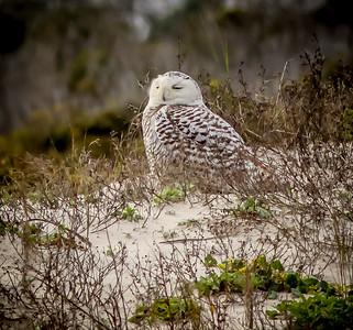 2014-01-06_Snowy Owl_Little Talbot Island,SP,Fl _IMG_3249