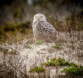 2014-01-06_Snowy Owl_Little Talbot Island,SP,Fl _IMG_3235
