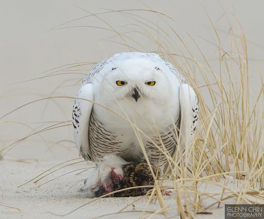 20131220_Snowy Owl_547