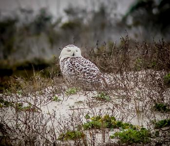 2014-01-06_Snowy Owl_Little Talbot Island,SP,Fl _IMG_3115