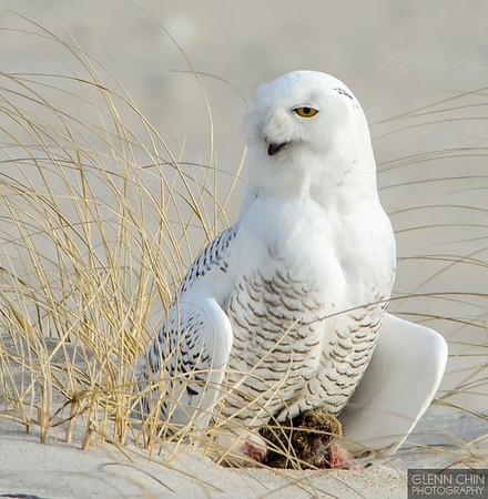 20131220_Snowy Owl_41